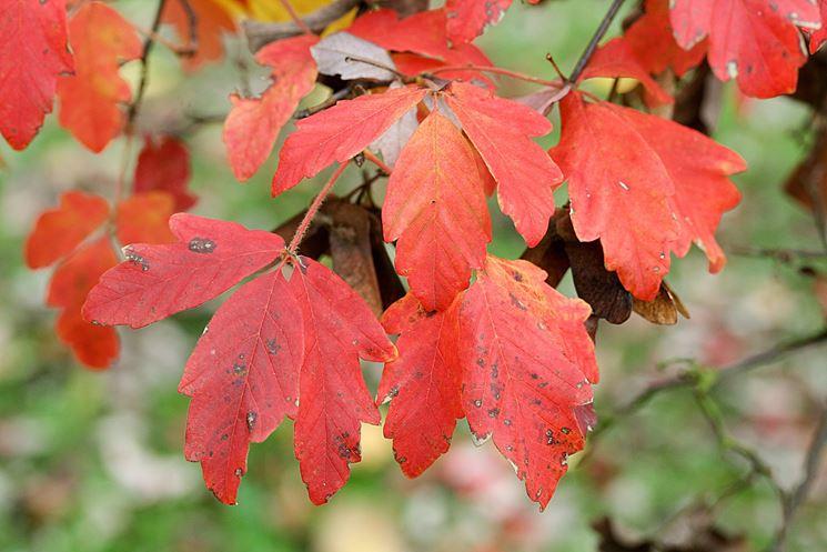 Acer griseum - Albero