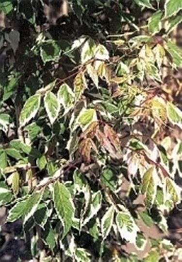 Acer negundo variegato