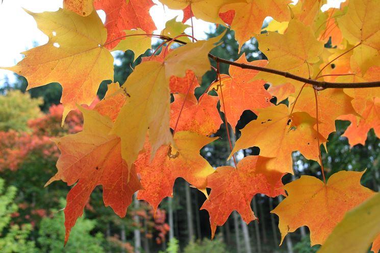 Acer saccharum - Pianta