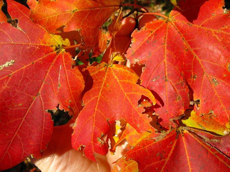Acer saccharum - Fogliame