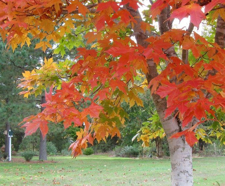 Acer saccharum - Foglie Autunno