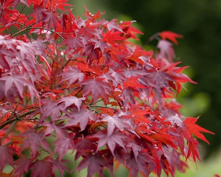 Acero alberi coltivazione acero for Acero giapponese in vaso