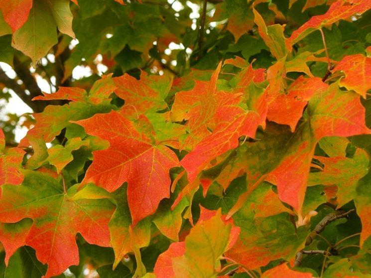 Acero alberi coltivazione acero for Aceri giapponesi