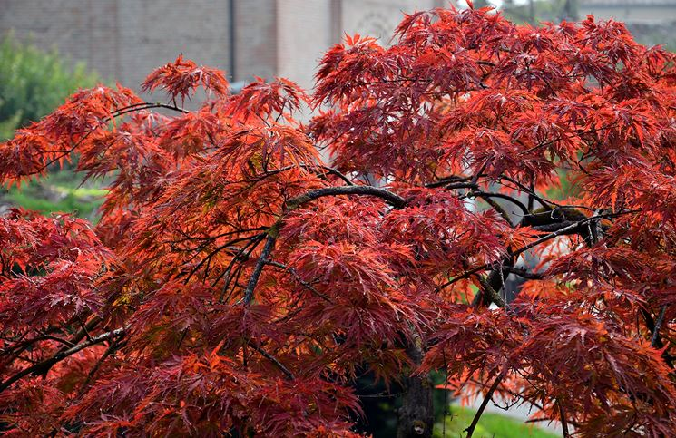 Acero alberi coltivazione acero - Alberi da giardino di piccole dimensioni ...