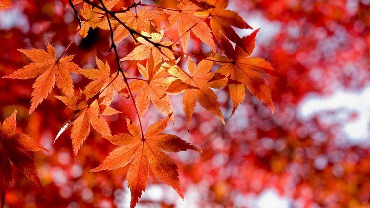 Acero alberi coltivazione acero for Foglia acero
