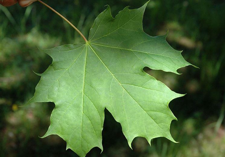 Acero alberi coltivazione acero for Acero riccio