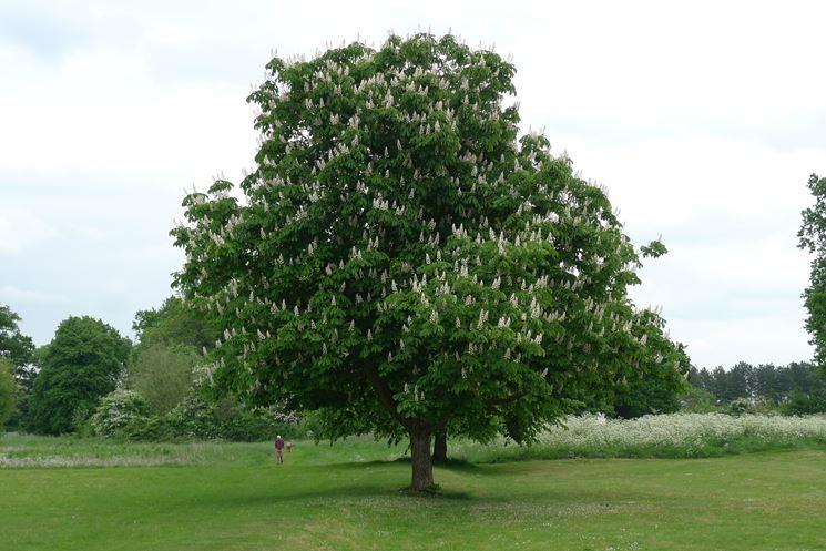 albero di ippocastano