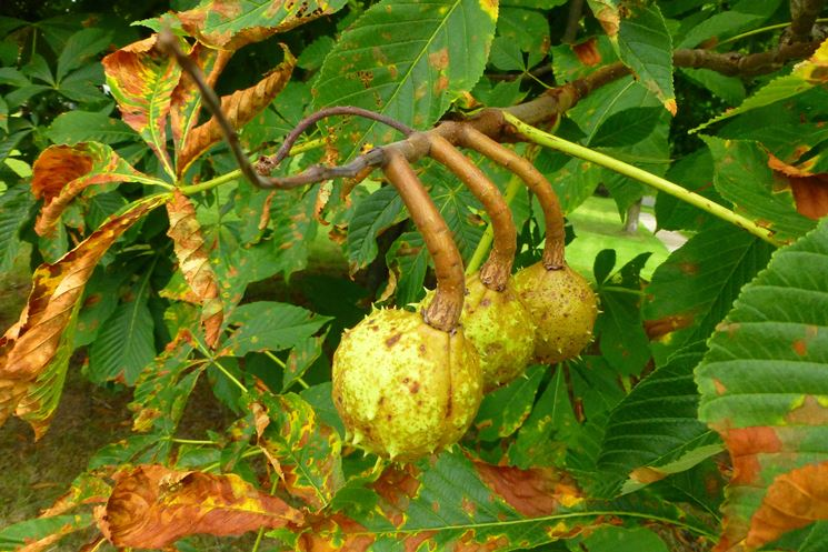 frutti ippocastano