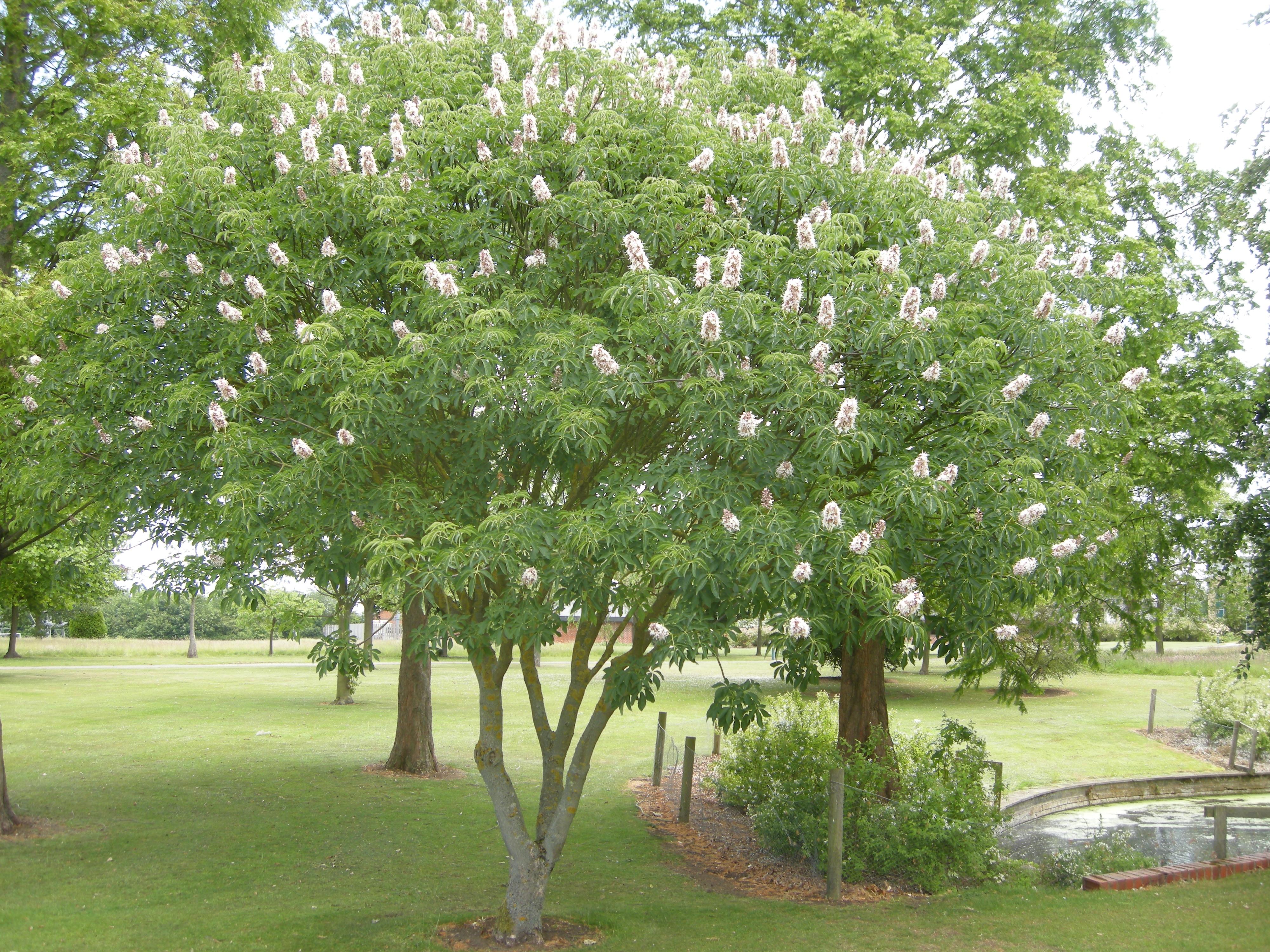 Ippocastano alberi latifolie for Alberi da giardino a crescita rapida