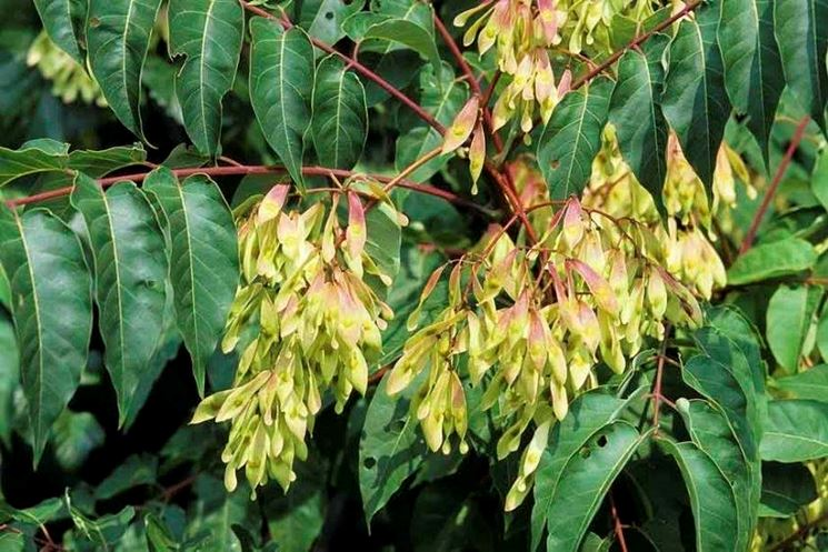 Ailanto - albero