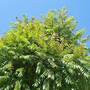 alberi del paradiso