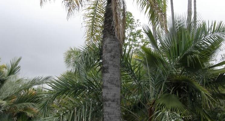 palma aiphanes