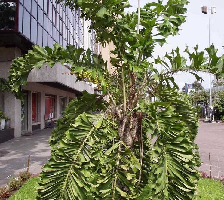 Aiphanes albero