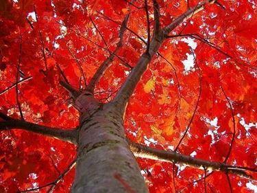 quercia rossa