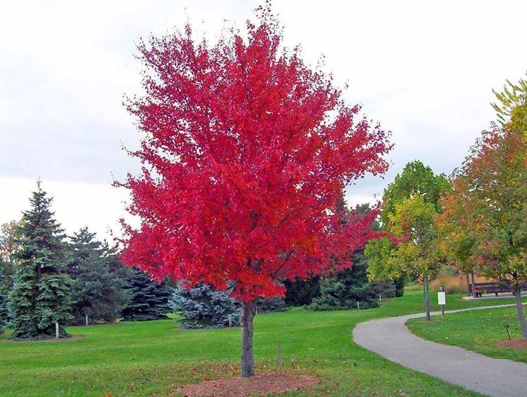 Alberi a crescita rapida alberi - Foto di alberi da giardino ...