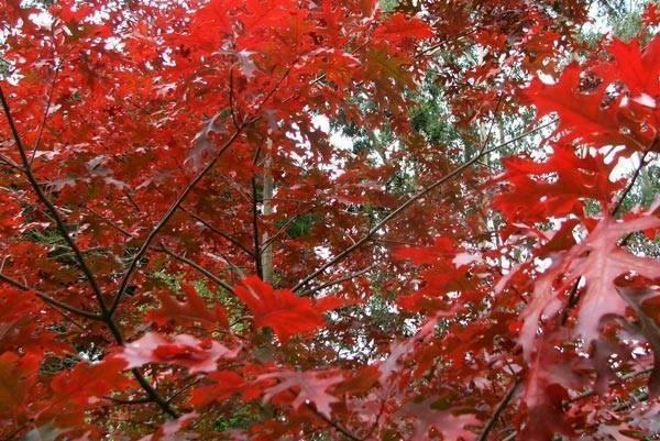 Alberi a crescita rapida alberi - Alberi da giardino a crescita rapida ...