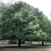 alberi a crescita rapida - alberi - Alberi Sempreverdi Da Giardino A Crescita Rapida