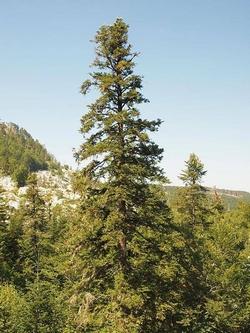 Alberi alto fusto alberi for Alberi alto fusto da giardino