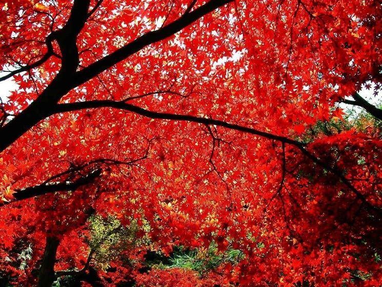Alberi caducifoglie alberi piante caducifoglie for Acero rosso canadese prezzo