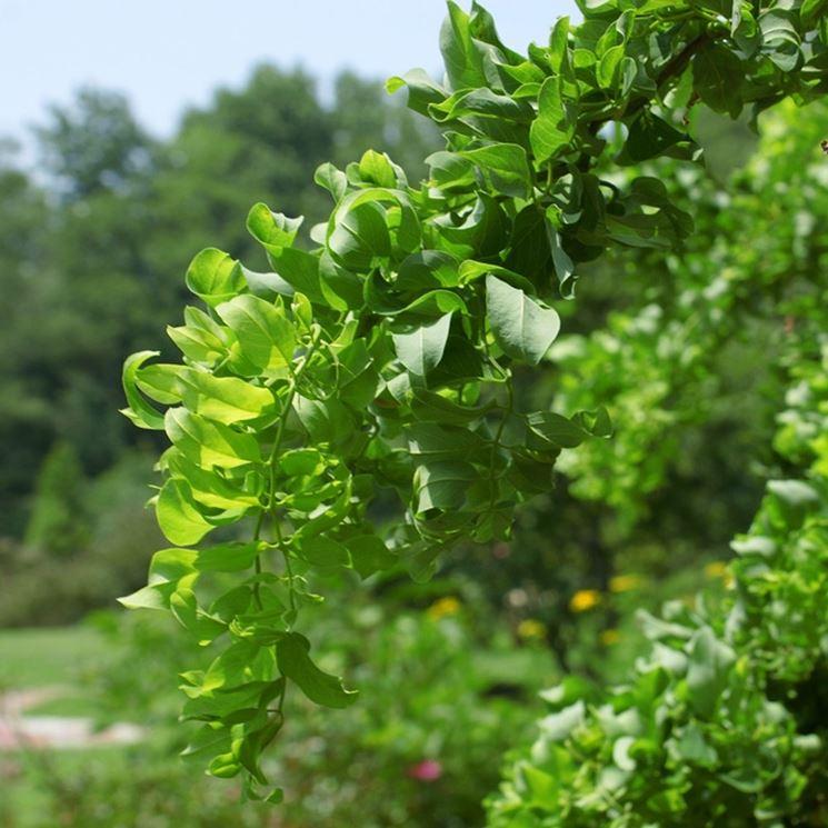 foglie robinia