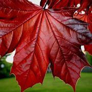 acero rosso albero