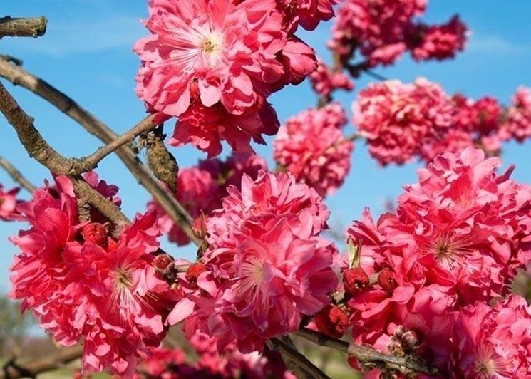 Alberi da fiore alberi alberi con fioritura for Alberi da giardino con fiori