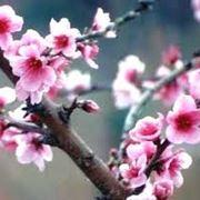 pero da fiore