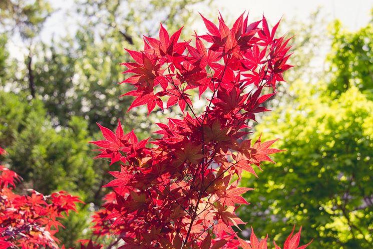 Alberi da giardino alberi alberi per il giardino for Alberi fioriti da giardino