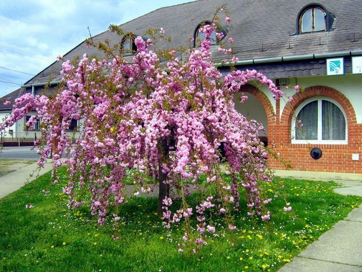 Alberi ornamentali alberi alberi ornamentali - Alberi particolari da giardino ...