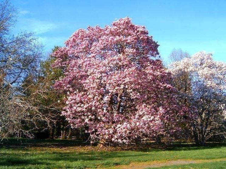 Alberi ornamentali alberi - Alberi adatti per viali ...