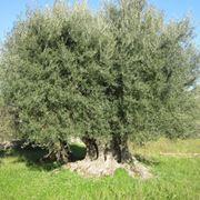 pianta sempreverde