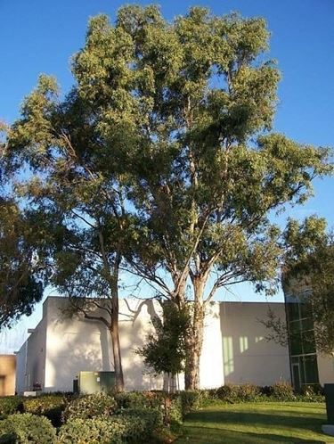 Alberi sempreverdi da giardino alberi piante - Alberi da giardino piccolo ...