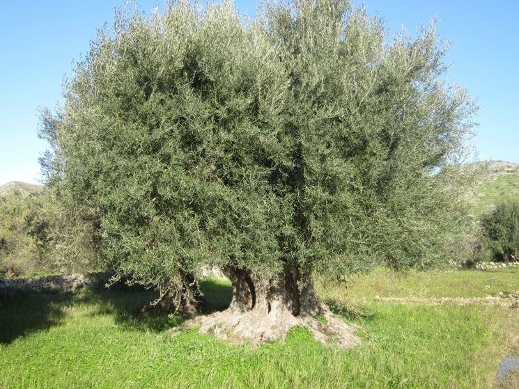 Alberi sempreverdi da giardino alberi piante - Alberi da giardino di piccole dimensioni ...