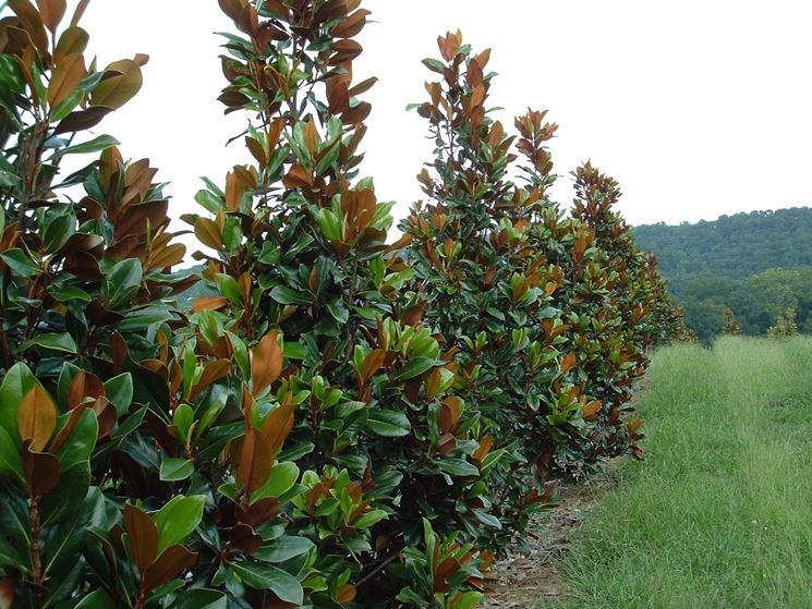 Alberi sempreverdi da giardino - Alberi - piante sempreverdi da ...