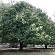 alberi da ombra sempreverdi