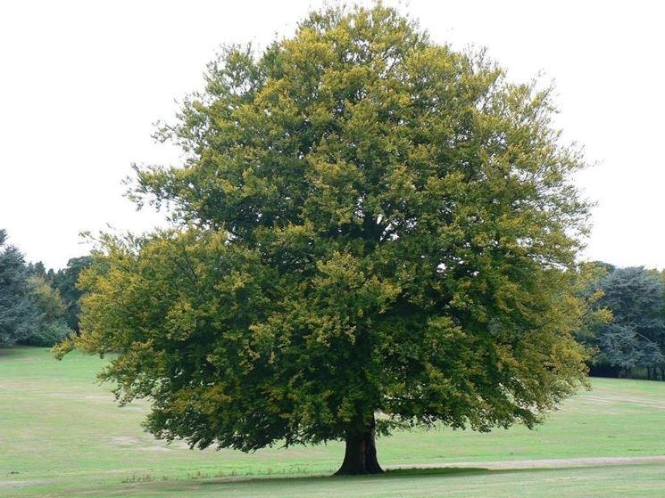 l'albero