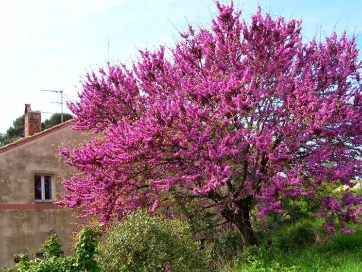 albero di giuda alberi coltivare albero giuda