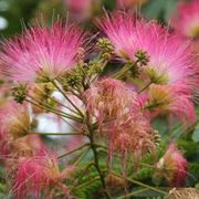 Albizia - fiori