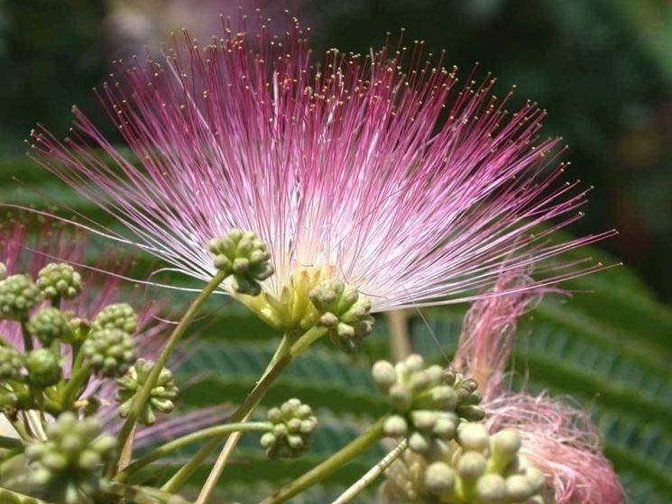 pianta di albizia