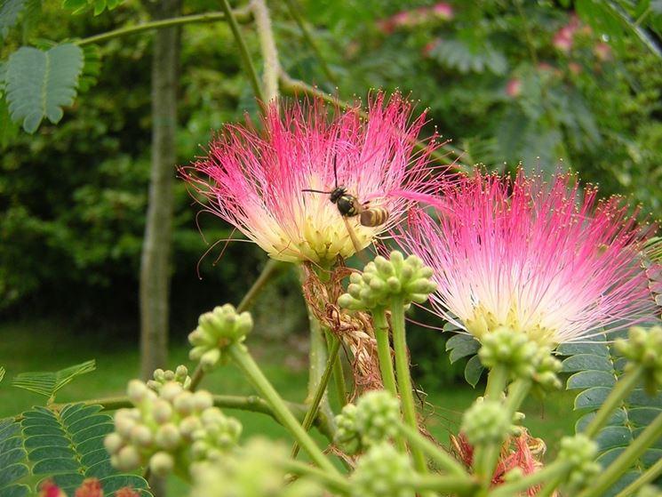 coltivazione albizia