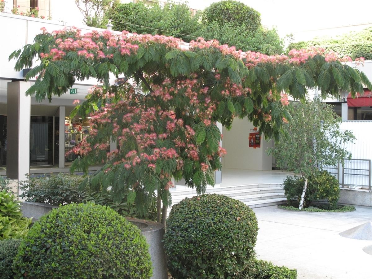Piccoli Alberi Da Giardino albizia - alberi - albizia pianta