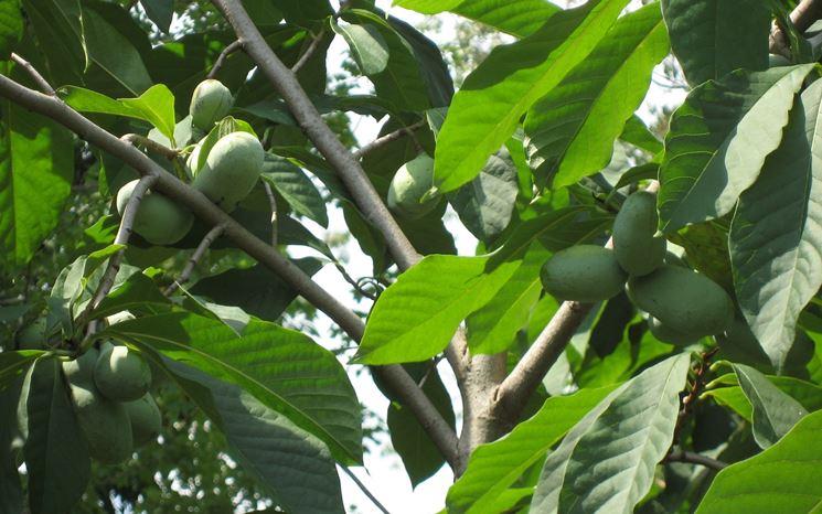 Banano del paran asimina triloba alberi banano del for Albero di banane