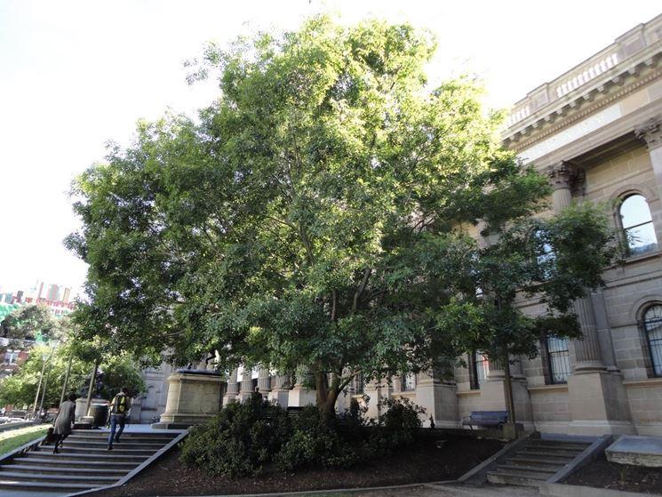 Bagolaro albero