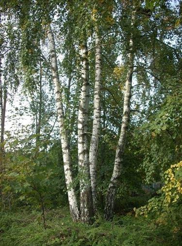 Riproduzione betulla