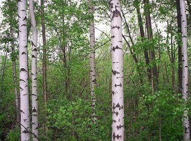 Betula alba (syn. Betula pubescens)