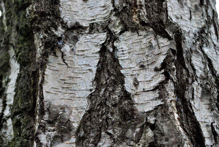 Corteccia betulla