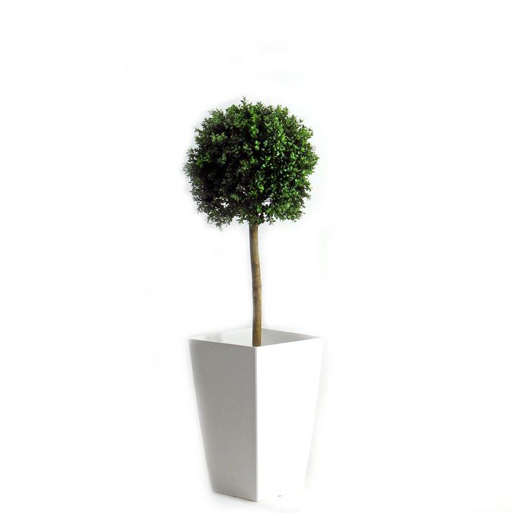 Bosso buxus sempervirens alberi bosso coltivare bosso for Alberelli da esterno