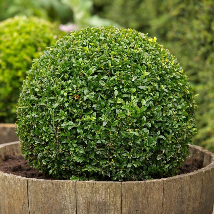 Bosso buxus sempervirens alberi bosso coltivare bosso for Pianta bosso prezzo