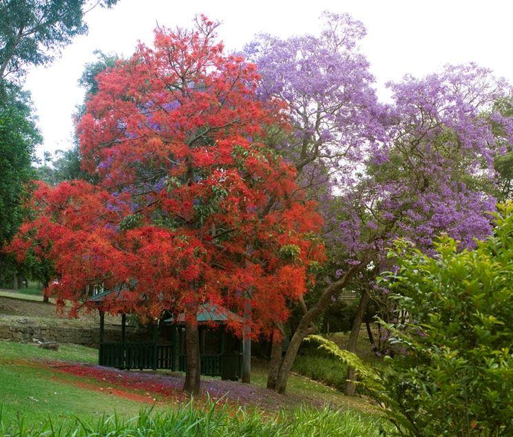 Albero fiamma albero bottiglia brachychiton acerifolius - Alberi da giardino di piccole dimensioni ...