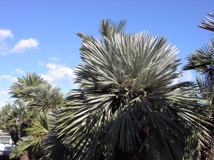 palma blu